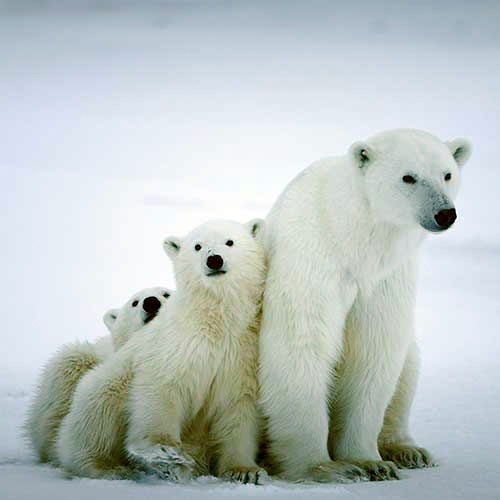 Polar Bears Are Facing Extinction, Not Just 'Vulnerability'